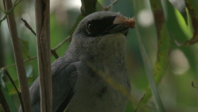 A Cuckoo-shrike is about to deliver a snack to its chick
