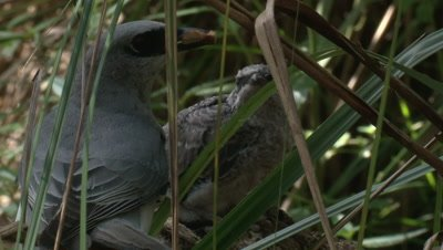 A Cuckoo-shrike feeds its chick in the undergrowth