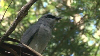 A Cuckoo-shrike looks out for its missing chick