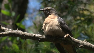 A Fan-tailed Cuckoo hops higher on the branch