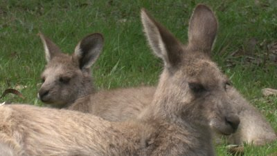A Kangaroo and its young rest side by side
