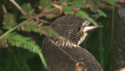 An immature Butcherbird waits for a food drop