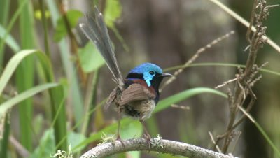 A Variegated Fairy-wren flies off  a low branch