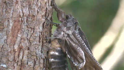 The wings of a Giant Wood Moth are still soft after metamorphosis