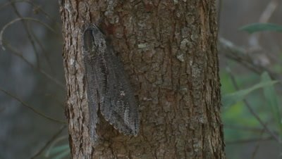 A Giant Wood Moth rests after metamorphosis