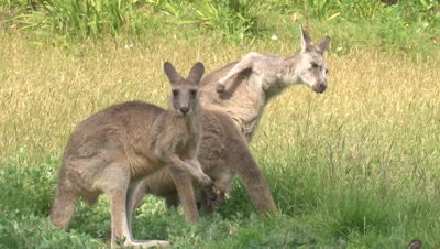 Kangaroos notice an intrusion while feeding in tall grass