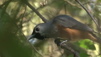 A Black-faced Monarch preens on its perch