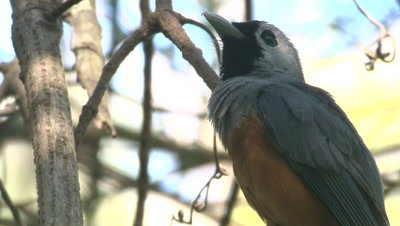 A Black-faced Monarch has a good look around