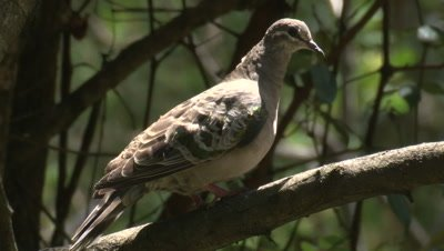 A Common Bronzewing takes time out on a branch