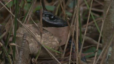 A Red-bellied Black Snake searches for prey in leaf litter