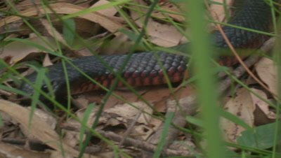 A Red-bellied Black Snake searches through leaf litter