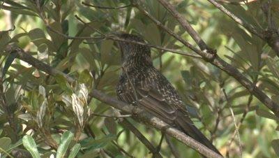 A Little Wattlebird calls in a bush