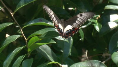 A female Butterfly attracts a male while fluttering