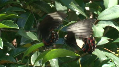 Two Butterflies flutter in a courtship dance