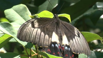 A female Citrus Butterfly takes a break and then leaves