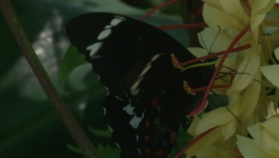 A Butterfly forages on a wild growing Ginger plant