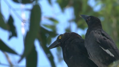 A Currawong and its chick perch on a high branch