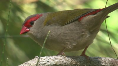 A Red-browed Finch samples a stalk of grass and moves on