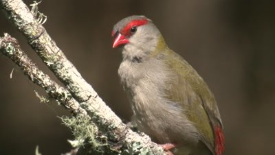 A Red-browed Finch preens on a branch and leaves