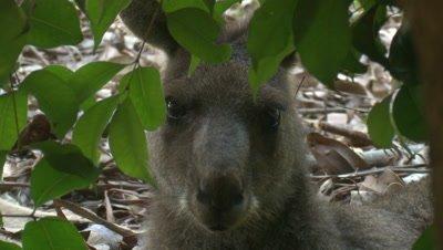 An Eastern Grey Kangaroo takes a break behind a bush