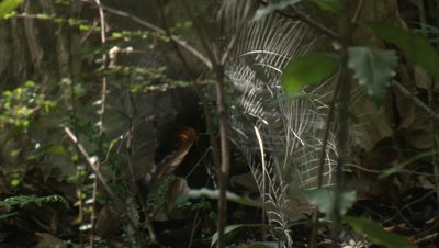 A Lyrebird finds a snack in the rainforest and moves on