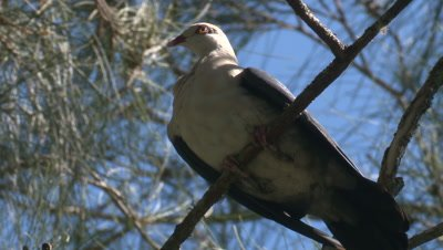 A White-headed Pigeon takes a break on a high branch