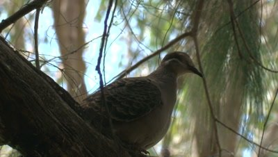 A Common Bronzewing becomes agitated on its perch