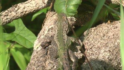 A Jacky Lizard appears well camouflaged on a fallen tree