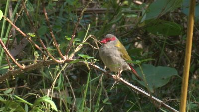 A Red-browed Finch flies off a branch