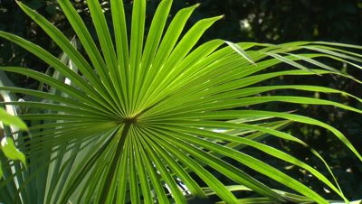 A backlit Cabbage palm frond