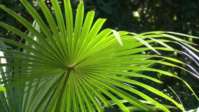 A Cabbage Palm frond is moved by the wind