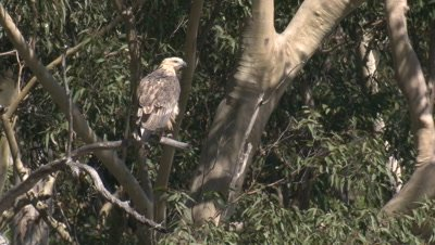 A juvenile White-bellied Sea-Eagle takes a break on a gumtree