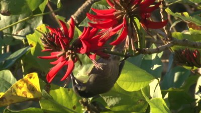 A Lewin's Honeyeater feeds on Coral tree bloom