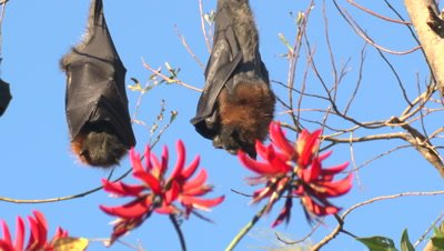 Grey-headed Flying-foxes roost on a Coral tree