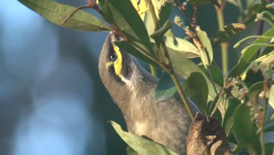 A Yellow-faced Honeyeater feeds on the flowers of a bush