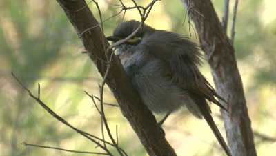 A Yellow-faced Honeyeater shakes its plumage after a bath