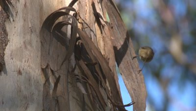 A Thornbill gleans on the loose bark of a gum tree for insects