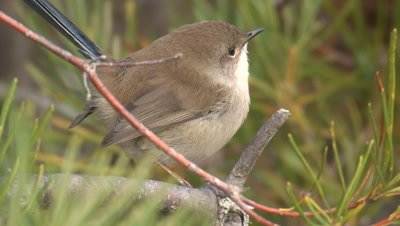 A male Superb Fairy-wren without breeding plumage leaves