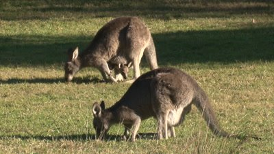 Tilt of Eastern Grey Kangaroos with joeys reflecting in a pond