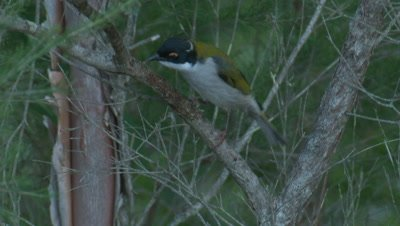 A White-naped Honeyeater inspects the branch of a bush