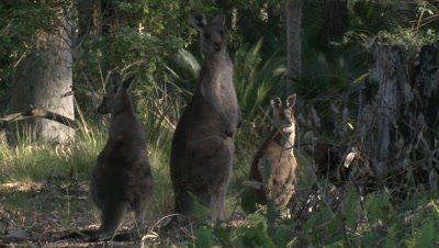 Three Kangaroos in a forest are observing their surroundings