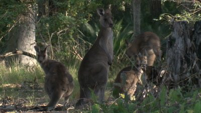 A Kangaroo hops into the picture, while others observe