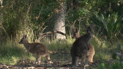 A Kangaroo hops through the picture, while others observe