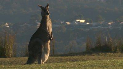 A Kangaroo stands near a coastal dune in an urban area
