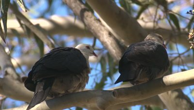 Two White-headed Pigeons take a break on a gumtree
