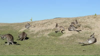Pan of a coastal dune to a mob of Eastern Grey Kangaroos