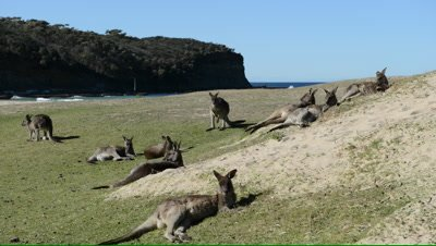 Kangaroos relax in coastal dunes on a cold winter's day