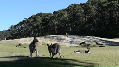 Pan of Eastern Grey Kangaroos on coastal dunes