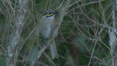 A perched Yellow-faced Honeyeater is bullied by another