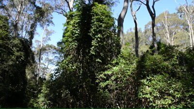 Profuse understorey of vine thicket in a spotted gum forest